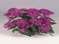 25 Pelleted Seeds Pentas Graffiti Violet Pentas Seeds (Star Flower)