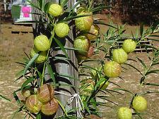 Hairy Balls (Swan) Plant 25 seeds