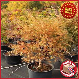 Acer palmatum 'Manyo-no-sato' Japanese Maple 3L Tree Plant Garden Outdoor