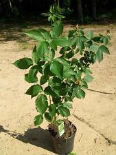 Navajo Thornless Blackberry Plant Healthy Antioxidant Garden Plants Blackberries