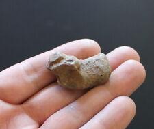 Fossil Armadillo Holmesina floridus carpal tarsal bone Pleistocene Florida