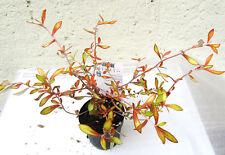 """Corokia virgata """"Welsh Whiskey"""" kräftige Pflanze im 10,5cm Topf Zierstrauch"""
