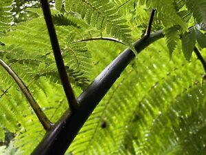 Black tree fern spores Cyathea medullaris UK collected fresh October 2021