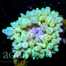 ASD - 120 Flying Dutchman Bubble Anemone - WYSIWYG - Aqua SD Live Coral Frag
