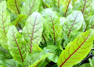 GARDEN SORREL Red Vein 125+ seeds edible vegetable garden salad green SUPERFOOD