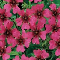 Cinquefoil (Potentilla Nepalensis)- 50  seeds