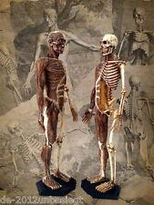 NEW 19cm height Human Anatomical Anatomy Skull Head body model Muscle Bone