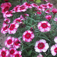 500pcs Mixed Sweet William Dianthus Flower Seeds Home Garden Flower Plant Seeds