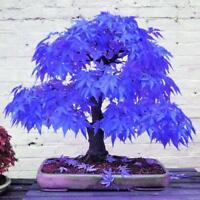 20X Rare Blue Maple Seeds Bonsai Plants Garden Tree Plant Decoration Seeds