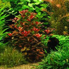"Ludwigia Repens ""Rubin"" - Live Decoration Aquarium Plants Java Moss Fern Anubias"