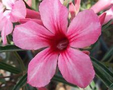 5 seeds ADENIUM,Som Prasert, Arabicum, Desert Rose