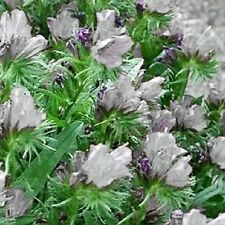25 WHITE VIPER'S BUGLOSS Echium Plantagineum White Bedder Flower Seeds *Comb S/H