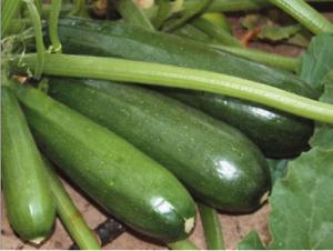 Zucchini Marrow squash Cucurbita seeds F1 Kora Cora 5 seeds КОРА SMS0035