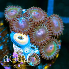 New listing Asd - 047 Earth Shatter Zoanthids - Wysiwyg - Aqua Sd Live Coral Frag