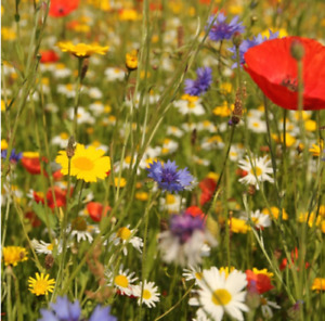 Wild Flower Meadow Seeds Scented Bee Butterfly Cottage Garden NO GRASS
