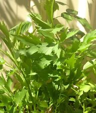 Lovage x 50 seeds. Perennial Celery-like Herb Great in soups!
