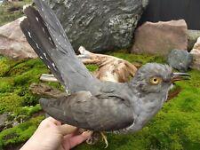 CUCKOO BIRD TAXIDERMY