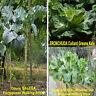 WRINKLED LEAF PORTUGUESE Walking Stick Cabbage Collard/ TRONCHUDA Kale, 50 seeds