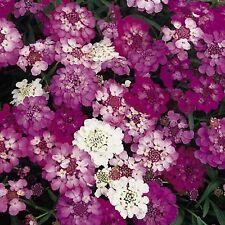 Candytuft Flower Seeds - Garden Seeds - Bulk