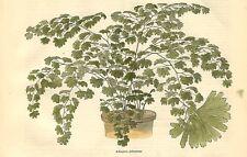 Stampa antica FELCI IN VASO Adiantum palmatum botanica 1879 Old Antique print