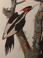 "Ivory Billed Woodpecker Audubon Print 11.5"" x 15"" Lithograph 262"