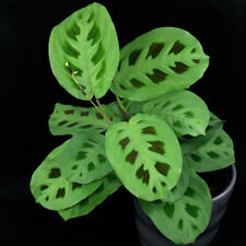 Maranta Kerchoveana Prayer Plant 12 cm pot aprox. 30 cm tall HOUSE PLANT