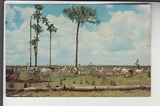Brahman Cattle on Range near  Kissimmee FL Florida