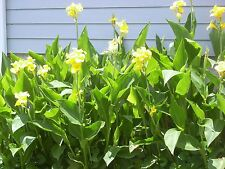 Yellow Canna Lily - 3 Plants