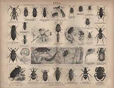 Lithografie 1876: KÄFER. Haselnussrüssler Cucujo Rapserdfloh Insekten Schädlinge