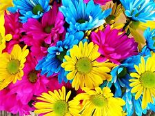FLOWERS NATURE PLANT DAISY BLUE PINK YELLOW LARGE POSTER ART PRINT BB4704A