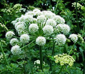 Angelica sinensis Seeds - Dong Quai Female Ginseng Perennial Flower TCM Herb