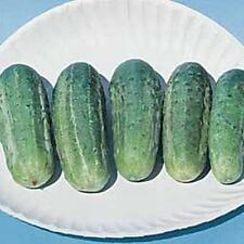 Cucumber Wisconsin Smr58 Vegetable Seeds