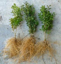 American Boxwood evergreen shrub hedge PRICE IS FOR 3 PLANTS Buxus Sempervirens