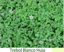 Trebol Blanco Enano (10 g / 20.000 semillas) Trébol Trifolium repens Abono Verde