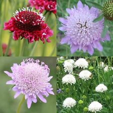 30 Seeds garten-skabiose Mix samt-skabiose Scabiosa Atropurpurea Bienenweide