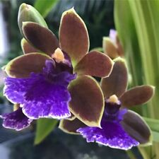 Zygopabstia Dragon Kitten 'Purr' Orchid Plant in spike
