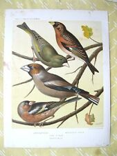 Vintage Print,Cassell's Canaries,FINCHES,C.1870