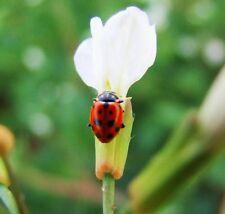 Good Bug Mix (500 seeds)- Organic Heirloom, seeds from Life-Force Seeds