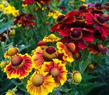 Helenium autumnale 'Rotgold  Hybrids'. Helen's Flower, Sneezeweed . 50 seeds .
