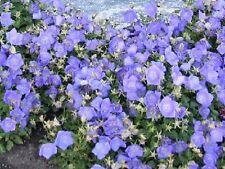 F0078 Campanula Carpatica Blue x100 seeds, Groundcover