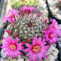 Mammillaria zeilmanniana Cactus Cacti Succulent Real Live Plant