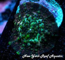 New York Reef Aquatic - 0611 C4 Lava Lamp Mushroom Wysiwyg Live Coral
