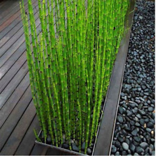 60Pcs Rare Mini Black Moso-Bamboo Tree Seeds Plants Decor Indoor Home Garden