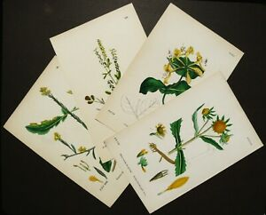 1873 Set of 4 antique engravings of YELLOW FLOWERS. Botany. Set of plants.