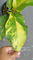 "RARE ""Foliage Anthurium 9 Fortune Yellow Variegated"" Succulent Plant+ Free Phyto"