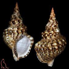 Charonia tritonis variegata, Brazil, Ranellidae sea shell