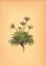 Alpenflora fleurs alpines: ANDROSACE Carnea L-fleischrother mannsschild; 1897