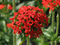 Maltese Cross Seed Perennial, Frost Hardy Most Well-drained Soils 1 Metre Tall
