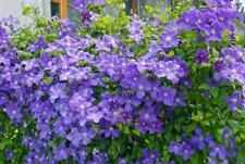 Clematis  'Jackmanii' Large Flowering Plug Plant Vigorous Climbing shrub