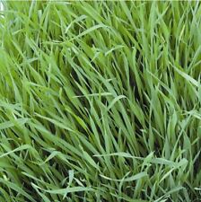 Organic - Vegetable - Annual Ryegrass Westerwold - 20g Seeds